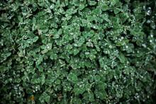 Clover Plant After Rain