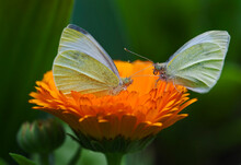 USA, Ohio. Close-up Of Two Sulphur Butterflies On Zenia Flower In Springtime.
