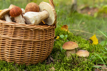 Edible Porcini Wild Mushrooms Growing In Moss In Autumn Fall Forest In Sunlight Closeup. Mushrooms In The Basket