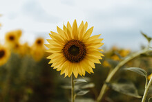 Details Of Sunflowers