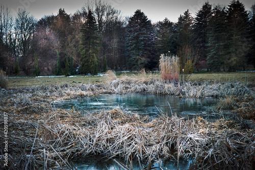 Fototapeta Zamarznięte oczko wodne wśród suchych traw w dzikim ogrodzie. obraz