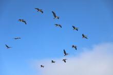 Flock Of Pelicans Flying Over The Ocean