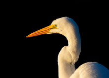 Great Egret Hunting Made.