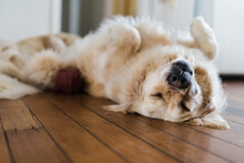 Golden Retriever Sleeping On Her Back