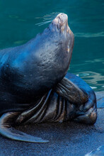 USA, Oregon, Newport. Close-up Of Sea Lion.