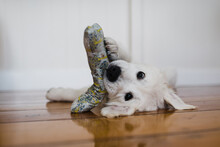 Puppy Lays On His Back With A Toy