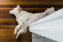 Golden Retriever Lounging In A Hallway