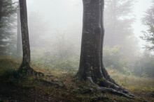 Giant Old Tree In Mysterious Forest With Fog