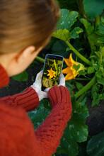 Anonymous Female Gardener Shooting Blooming Squash Plant