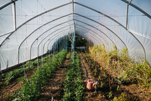 Greenhouse With Rows Of Vegetables