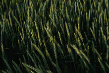 Agriculture Green Wheat Field In Motion