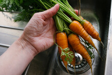 Freshly Picked Carrots Washed In A Kitchen Sink