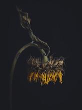 Sunflower Bent Over