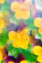 Yellow/Purple Pansies