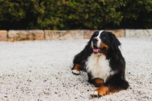 Bernese Mountain Dog At Home