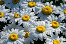 White Daisies, USA