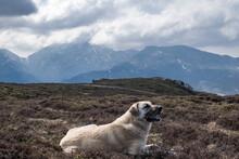 Anatolian Shepherd Lying In Heather