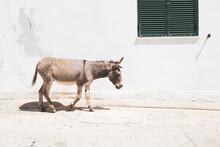 Little Grey Donkey Walking Free