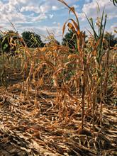 Dried Corn Stalks In Rural Garden