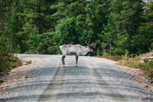 Reindeer With Large Antlers On Road