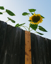 Sunflower Over A Fence