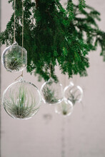 Glass Baubles With Air Plants Hanging On A Christmas Branch