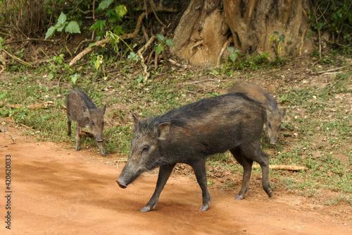 Canvas-taulu Wild boars on dirt road in Yala National Park, Sri Lanka