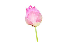 Single Pink Lotus Flower Isolated On White Background