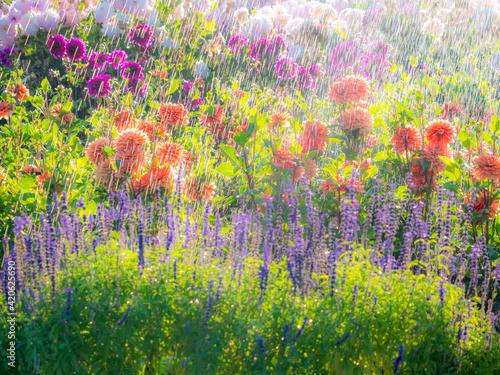 Fotografie, Obraz USA, Oregon, Canby, Swam Island Dahlias, water coming down on flowers