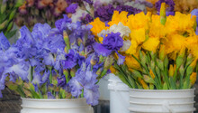 USA, Oregon, Salem, Garden With Cut Bearded Iris For Sale In Plastic Buckets