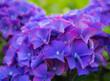 Leinwandbild Motiv USA, Oregon, Cannon Beach, Northwest Hydrangea blossom