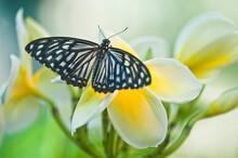 USA, Pennsylvania. Swallowtail Butterfly On Flower.
