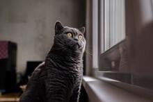 Cute British Shorthair Cat Looking Through Window In Home Living Room