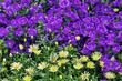 Leinwandbild Motiv Bell flowers and yellow daisies in the Conservatory at Longwood Gardens, Pennsylvania