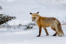 Red Fox In The Snow Hunting In Yellowstone