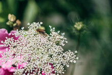 Bee Eating Pollen From Tiny Inflorescence Of Umbellifer Flower