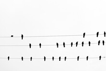 Crows On A Wire