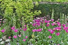 Tulips And Foxglove Along Stone Wall, Chanticleer Garden, Wayne, Pennsylvania.