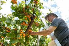 Senior Man Up A Ladder Fruit Picking