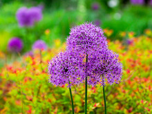 Close-up Of Flowering Bulbous Perennial Purple Allium Flowers.