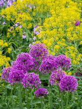 Purple Allium Blooming Amongst Yellow Flowering Plants.