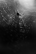 Black And White Spider Closeup