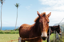 Horses Behind A Fence On Seascape Background In Hawaii