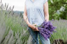 Bundle Of Fresh Lavender In Oregon Lavender Fields