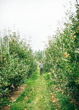 Person Picking Apples In Apple Orchard