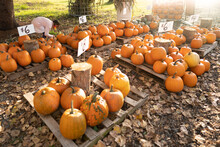 Pallets Of Pumpkins For Sale At Farm Stand
