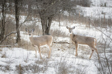 Two White Tailed Deer In Snowy Field.