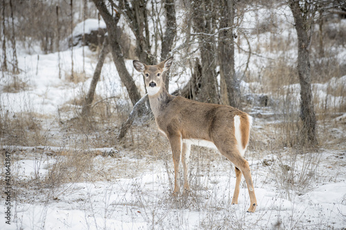 White tailed deer in snowy field.