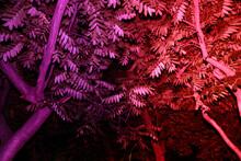 Red-purple Tree