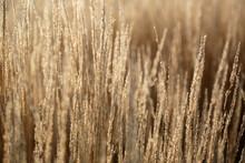 Stalks Of Brown Ornamental Grass